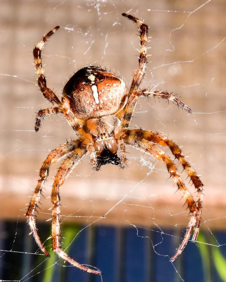 Large spider hanging on its web royalty free stock image
