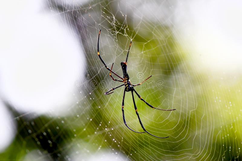 Download A Large Spider in its web stock image. Image of consists - 59466469