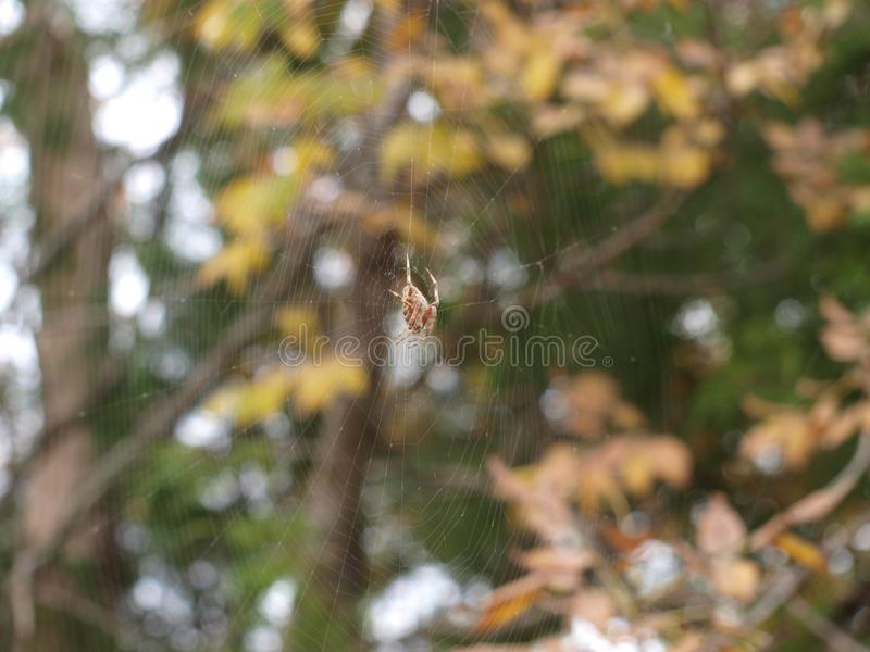 A Large Spider Spins Its Web In Less Than An Hour royalty free stock photography