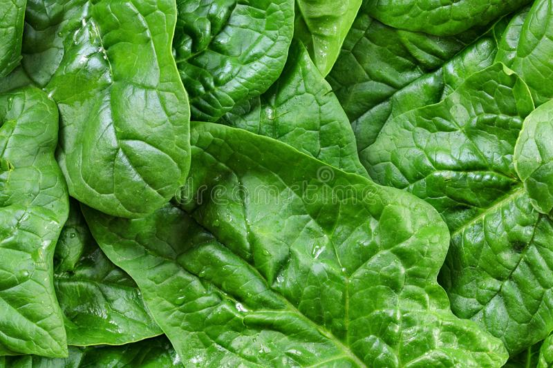 Large spinach leaves wet from water drops - detail photo from above, healthy green food concept.  royalty free stock photos