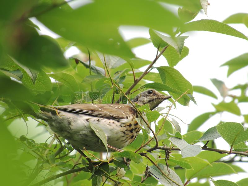 A large spotted brown bird Thrush sitting on a branch with bright summer green leaves royalty free stock images