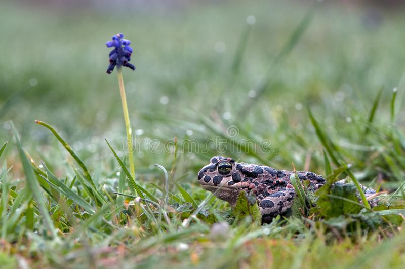 A large spotted frog sits in the grass. On a summer day stock photography