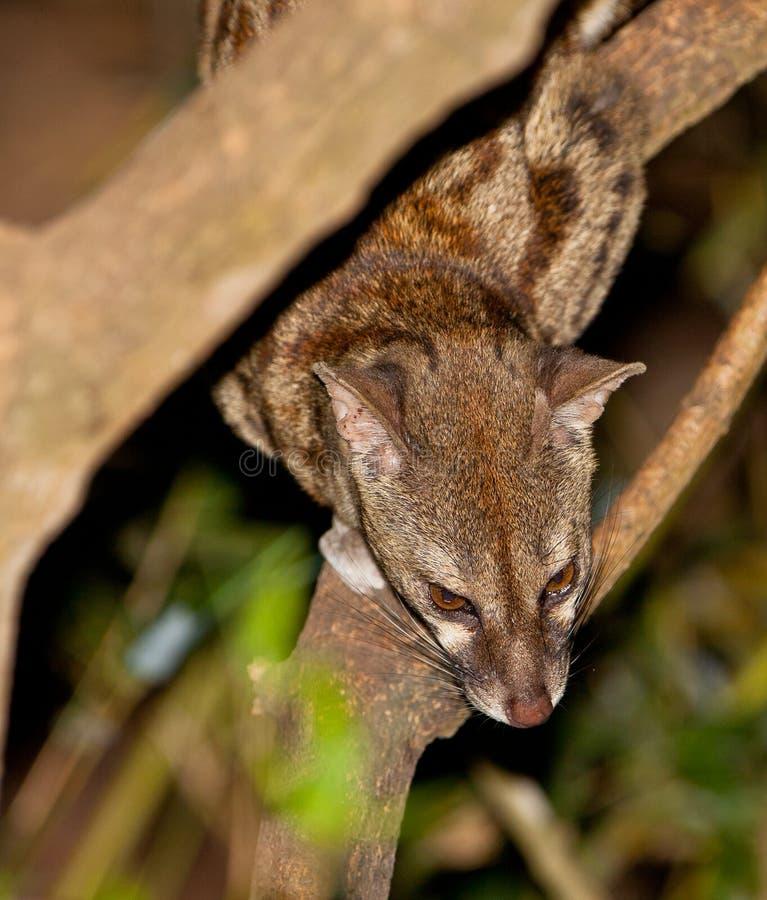 Download Large-Spotted Genet stock image. Image of kenia, habitat - 25090979