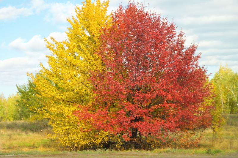 Large spreading yellow and red color bright trees in picturesque autumn valley, against a background of blue sky with sparse cloud stock photography