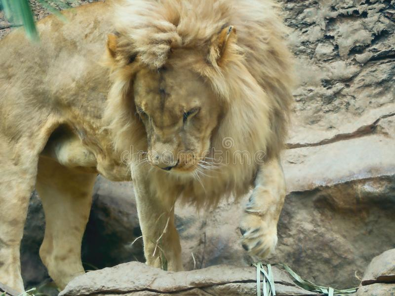 A large standing golden brown lion with a thick mane standing on a rock royalty free stock photos