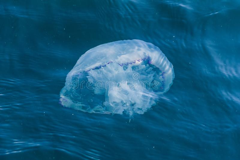 Large stinging jellyfish Rhizostoma pulmo in blue sea water close-up, top view. Large stinging jellyfish Rhizostoma pulmo in blue sea water close-up, top view stock images