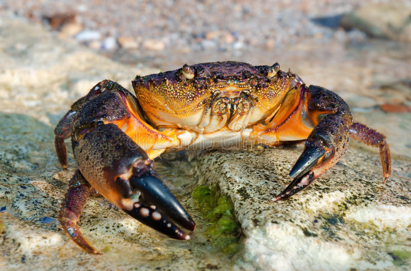 Download Large Stone crab stock photo. Image of rocks, crab, scenics - 23891646