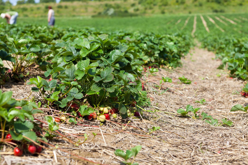 Large Strawberry Field Royalty Free Stock Photo