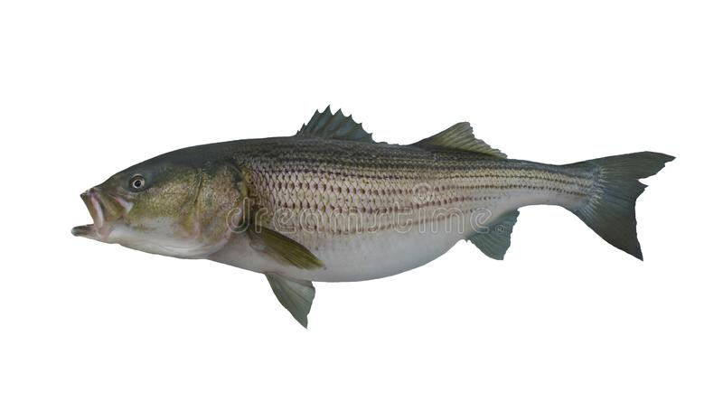 Large striped bass striper fish isolated on white background. Striped bass spawn in fresh water, and although they have been successfully adapted to freshwater royalty free stock photography