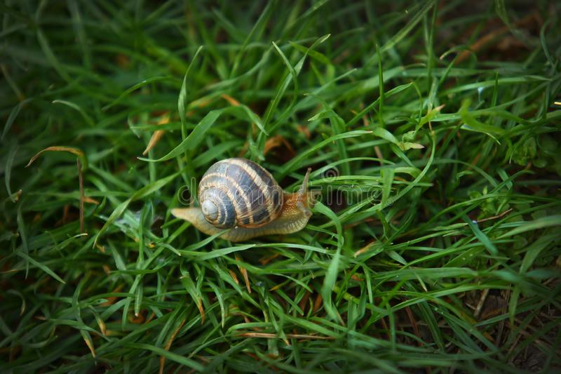 Large striped snail on green grass macro shot royalty free stock photography