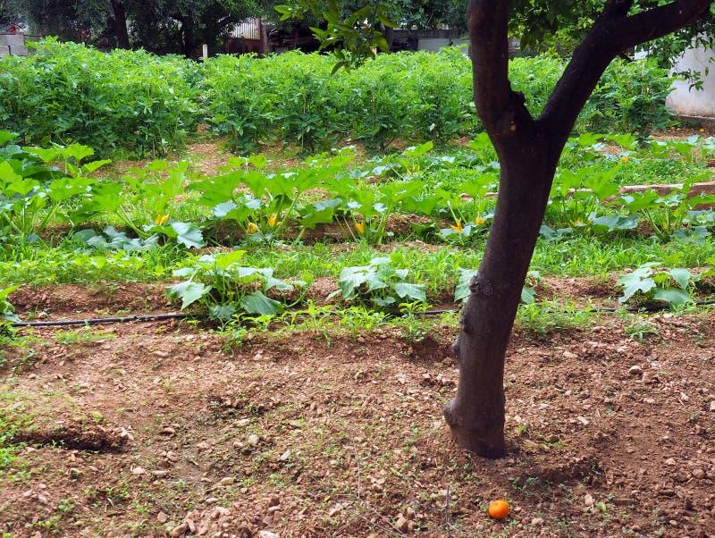 Large Suburban Vegetable Garden. A large vegetable garden in an Athens Greece suburban precinct, with a mature orange tree. A self sufficient family, especially royalty free stock photo