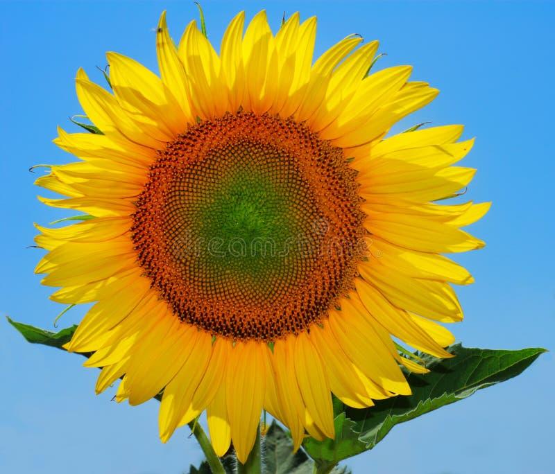 Large sunflower royalty free stock photography