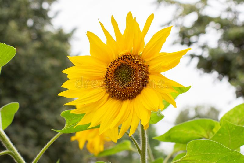 A large sunflower flower with bright yellow petals. In nature stock photo