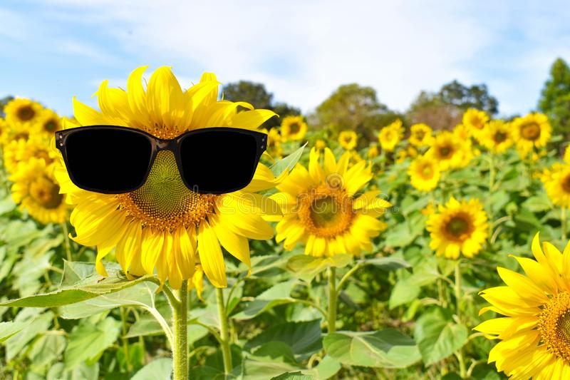 A large sunflower stands in the field with sunglasses in the summer royalty free stock photography