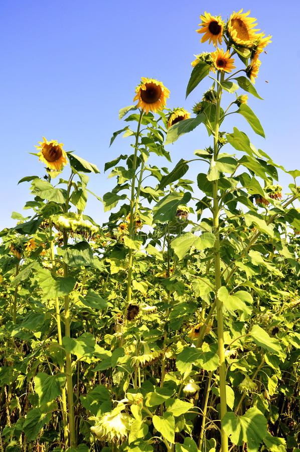 Large Sunflowers royalty free stock image