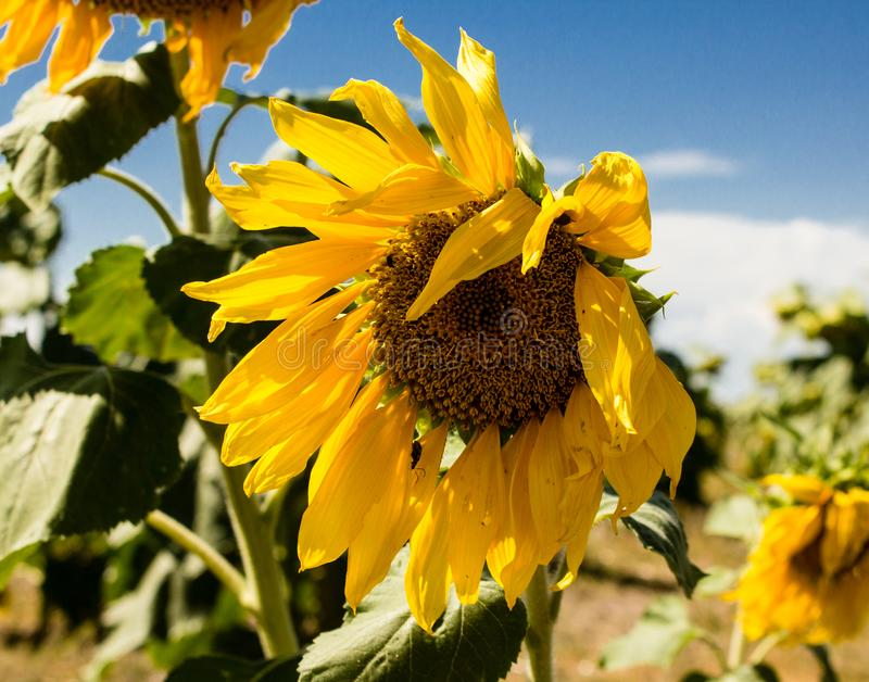 Sunflowers near Denver International Airport royalty free stock image