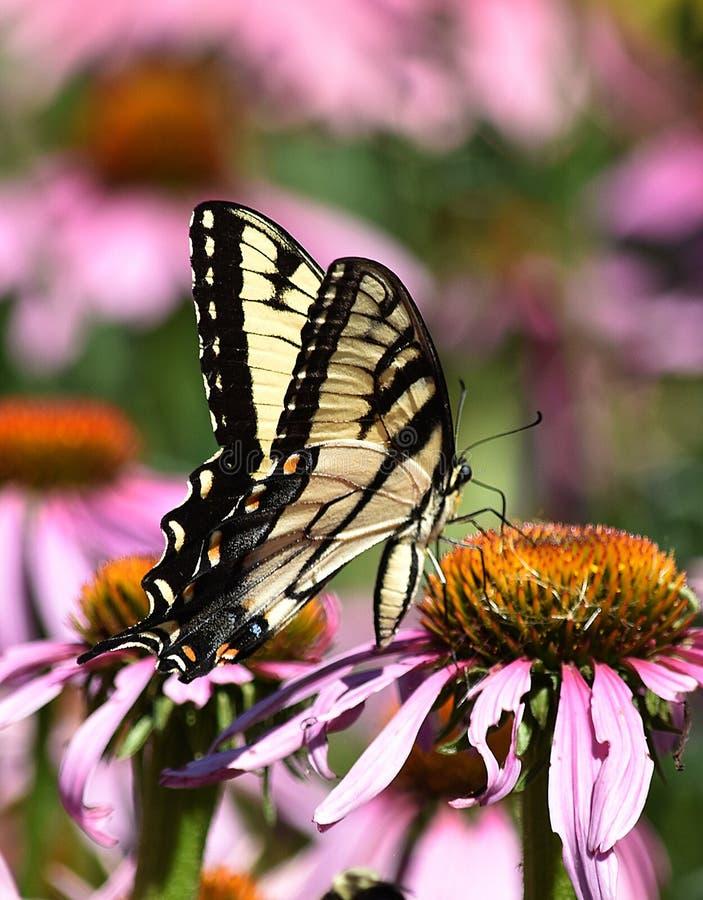 Large Swallowtail stock image