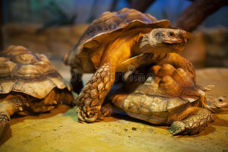 A large swamp turtle sits in the terrarium stock images