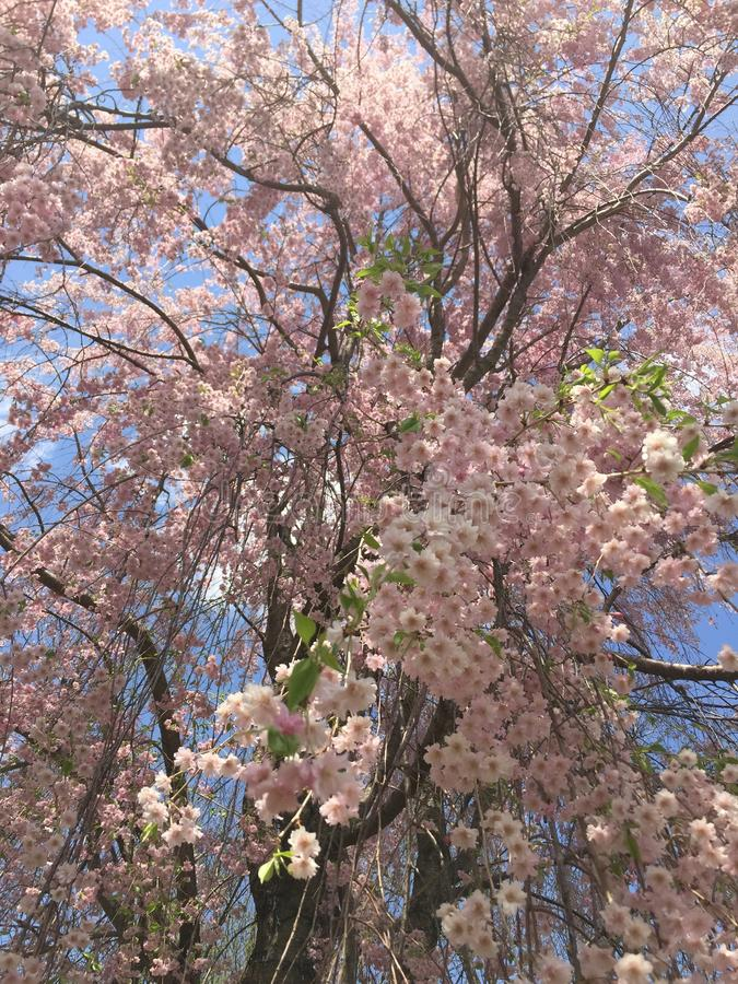 Large Sweeping, Weeping Cherry Blossom Tree. In full bloom with pink delicate flowers. Catch a peak at the flowers before all the petals fall off and turn to royalty free stock photo