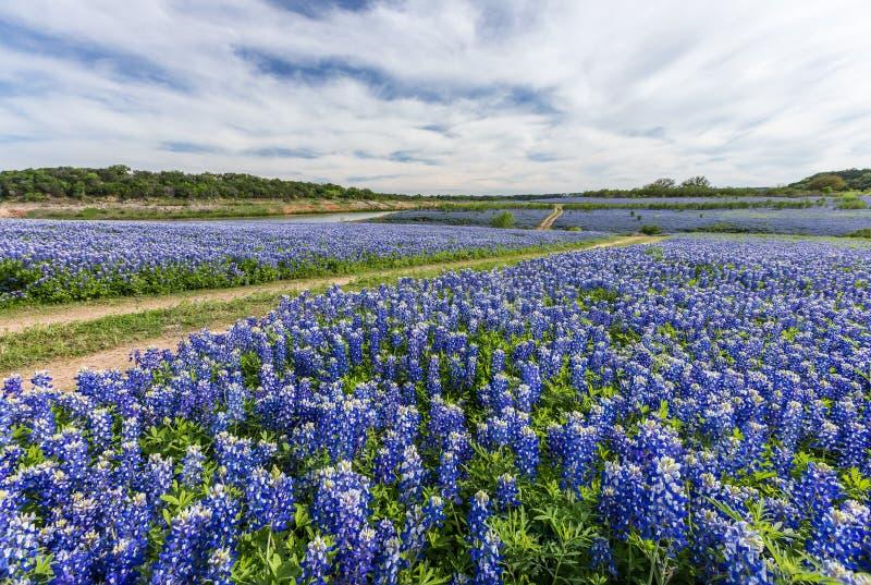 Large Texas bluebonnet field in Muleshoe Bend, Austin, TX royalty free stock photos