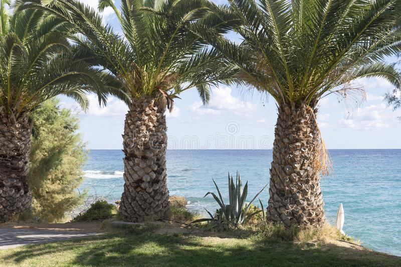 Large, thick palm trees on the beach. stock images