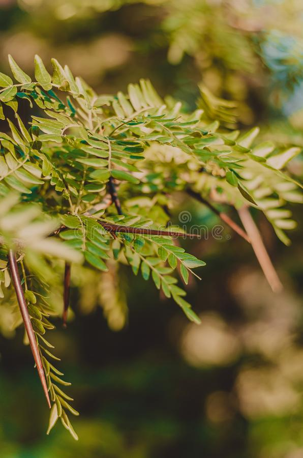 Large thorns of wild acacia hiding among the green leaves. Soft focus. Brown-green background. Shooting at eye level. royalty free stock photography