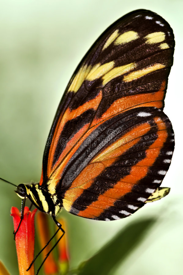 Free Large Tiger Butterfly Royalty Free Stock Photography - 8036527