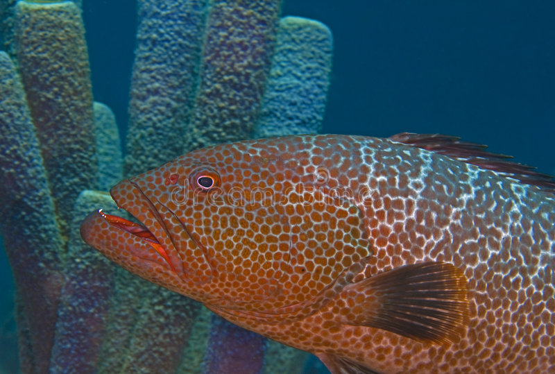 Large tiger grouper stock photography