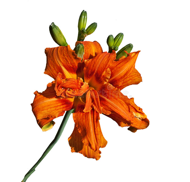 Large Tiger-lily royalty free stock photography