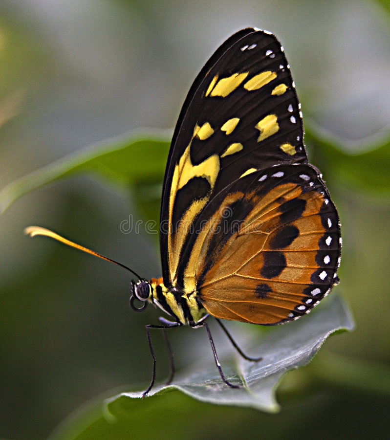 Large Tiger Monarch Butterfly. Lycorea Cleobaea, sitting on green leaf with wings folded Macro stock photos