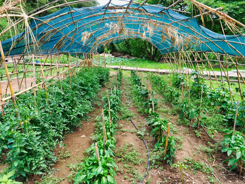 Large Tomato Garden Under Bamboo and Shade Cloth Canopy. Young tomato plants growing in a large home garden plot under a bamboo cane and green shade cloth canopy stock photo