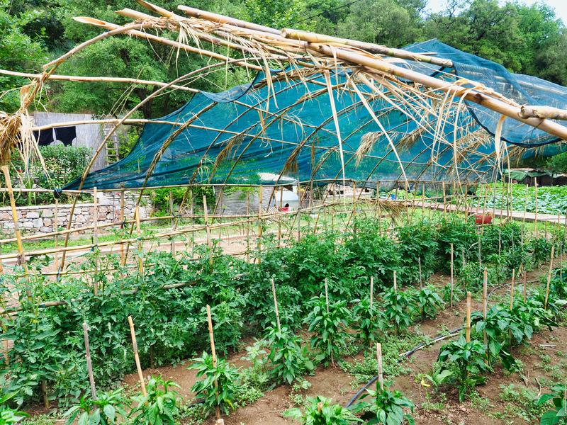 Large Tomato Garden Under Bamboo and Shade Cloth Canopy. Young tomato plants growing in a large home garden plot under a bamboo cane and green shade cloth canopy stock image