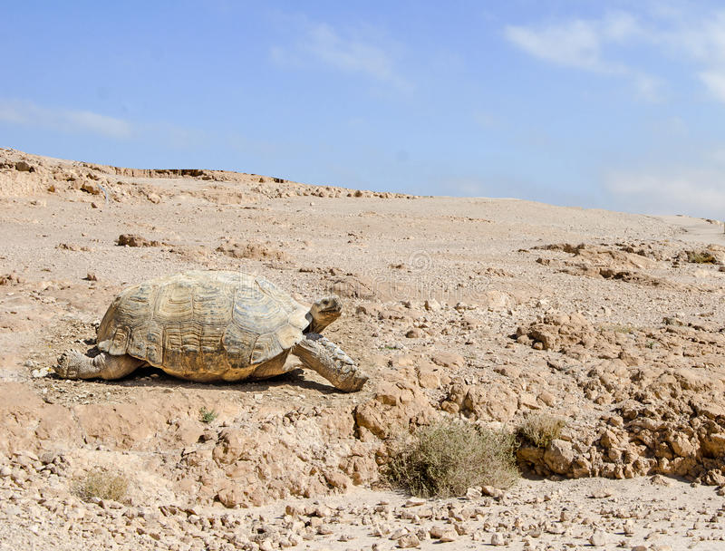 Large tortoise. Close up of large tortoise stock photo