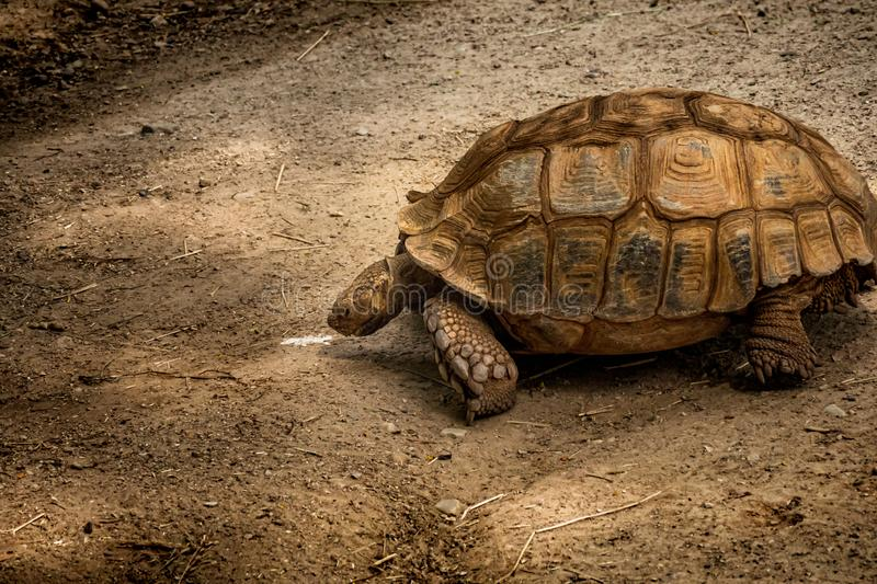Large tortois crawling around on the ground. Large Tortoise crawling across the ground stock images