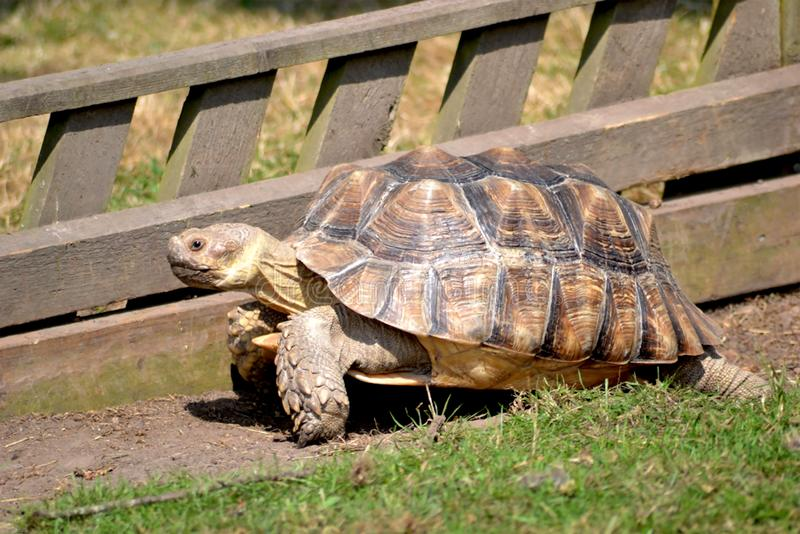 Large Tortoise In Sunny Zoo Garden. Happy animal picture of tortoise outside by grass and fence landscape at Longleat Zoo Wildlife and Safari Park in the summer stock image