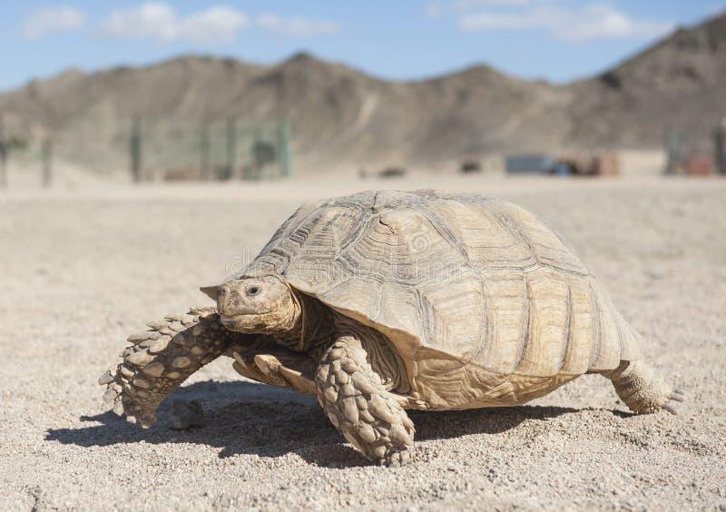 Large tortoise walking in the desert stock image