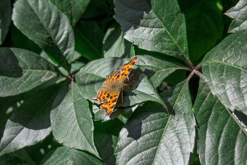 Large tortoiseshell butterfly on a leaf stock photography