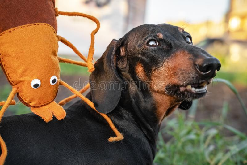 A large toy insect tick bites a dog dachshund for a walk. Joke. Tick ​​on the dog concept royalty free stock images