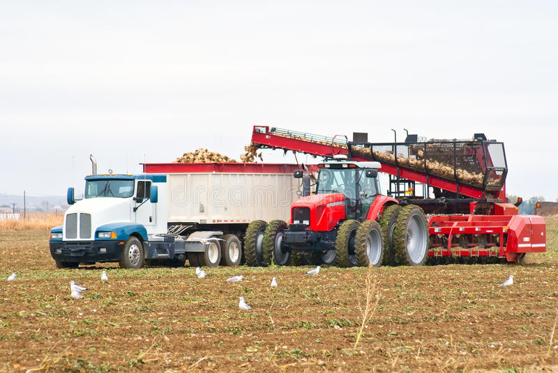 A large tractor and semi-truck loading beets stock photography