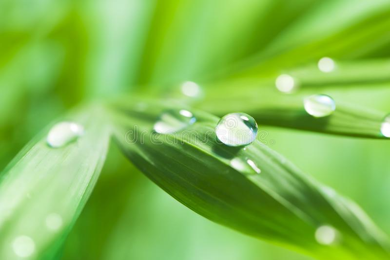 Large transparent drops of water on green leaf royalty free stock photos