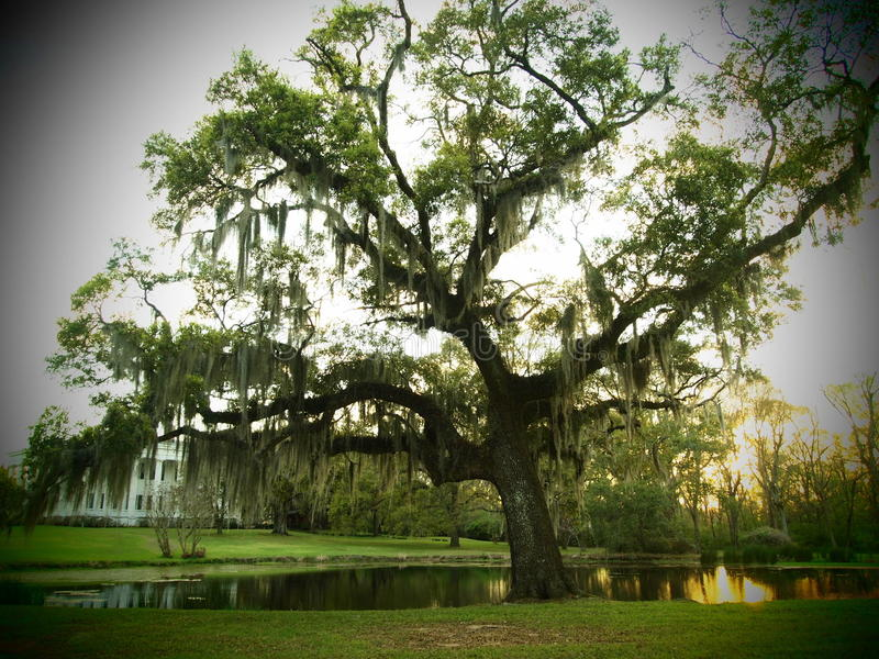 Louisiana Plantation Large tree royalty free stock images