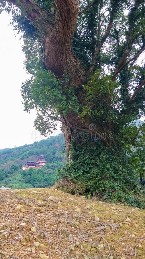 A large tree on the background of a Buddhist temple in a Chinese Taoist monastery. In the mountains royalty free stock photo