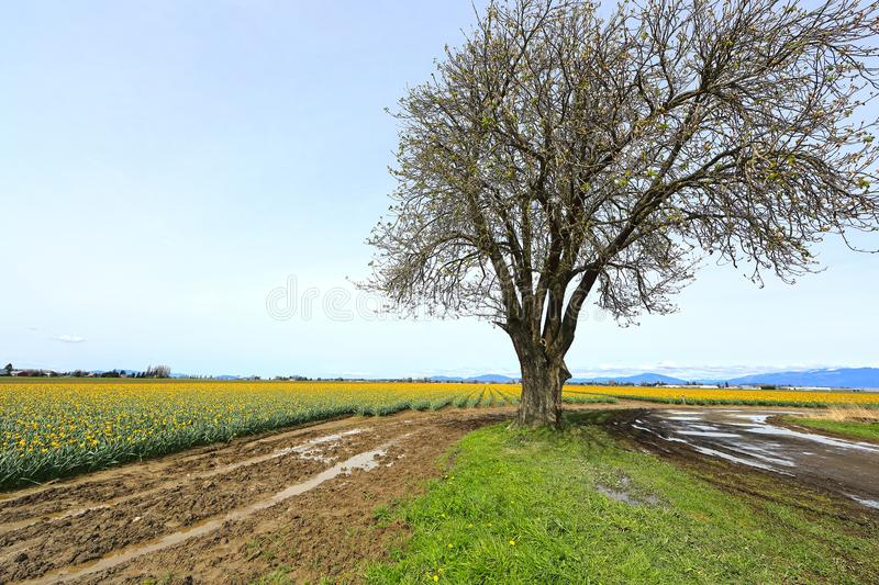 Large Tree in Blooming Valley. Landscape featuring lone barren deciduous tree beginning to bud in vast valley with daffodils in background stock photography