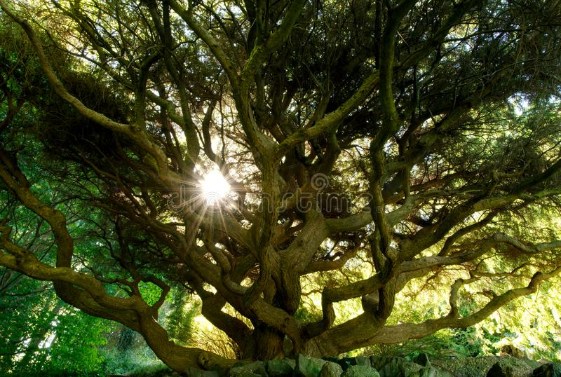 Large Tree Canopy, Sargent`s weeping hemlock tsuga canadensis pendula. Large Tree Canopy, Sargent`s weeping hemlock with sun peeking through stock photography