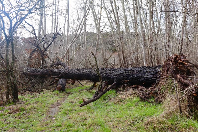 Large Tree Fallen in Forest stock image