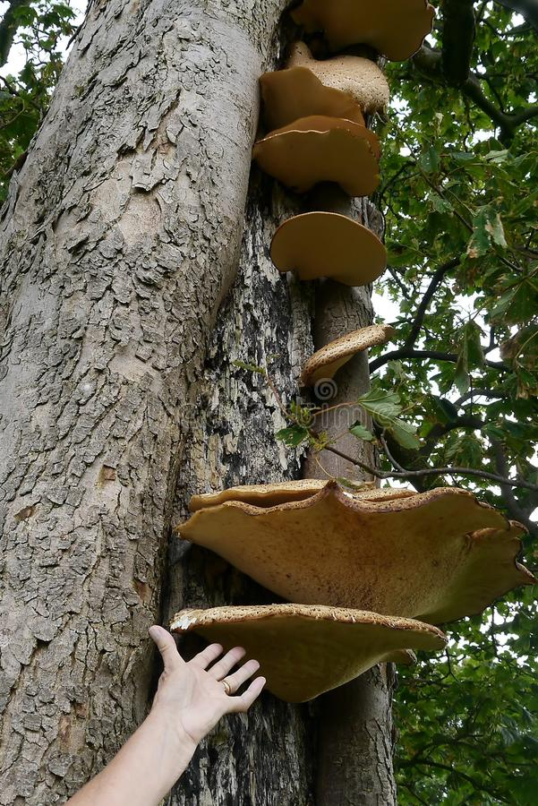 Large tree fungi with hand to denote size. Fairly common polyporus squamosus commonly called Dryad's Saddle royalty free stock images