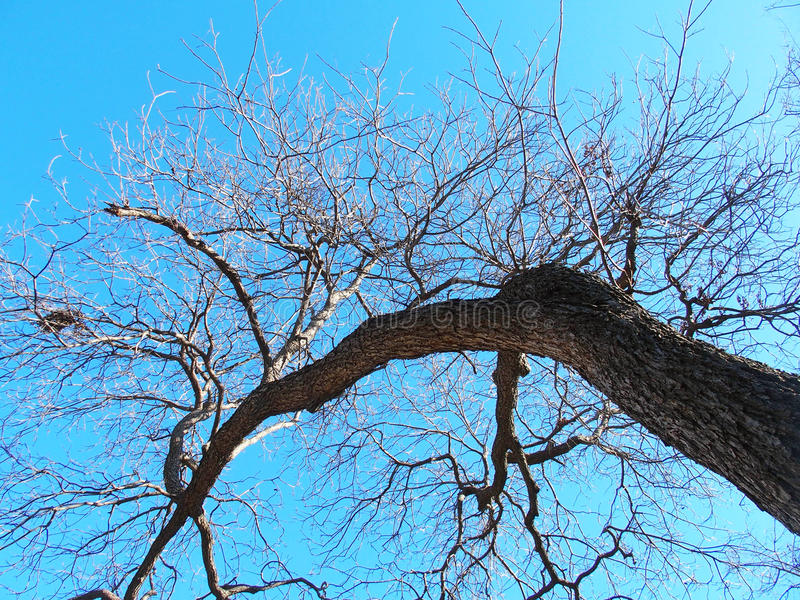 Large Tree. Looking up into a large leafless pecan tree into a clear blue winter sky royalty free stock images