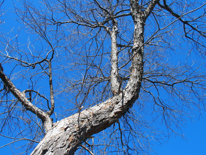 Large Tree. Looking upward at a large tree in the foreground of a clear blue sky royalty free stock images