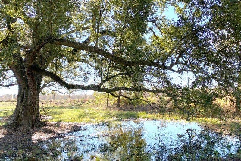 Large tree pond reflection sunny day. A large tree near a pond reflection on a sunny day royalty free stock image