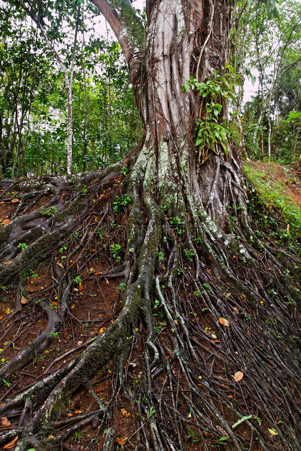 Large Tree Roots royalty free stock photos
